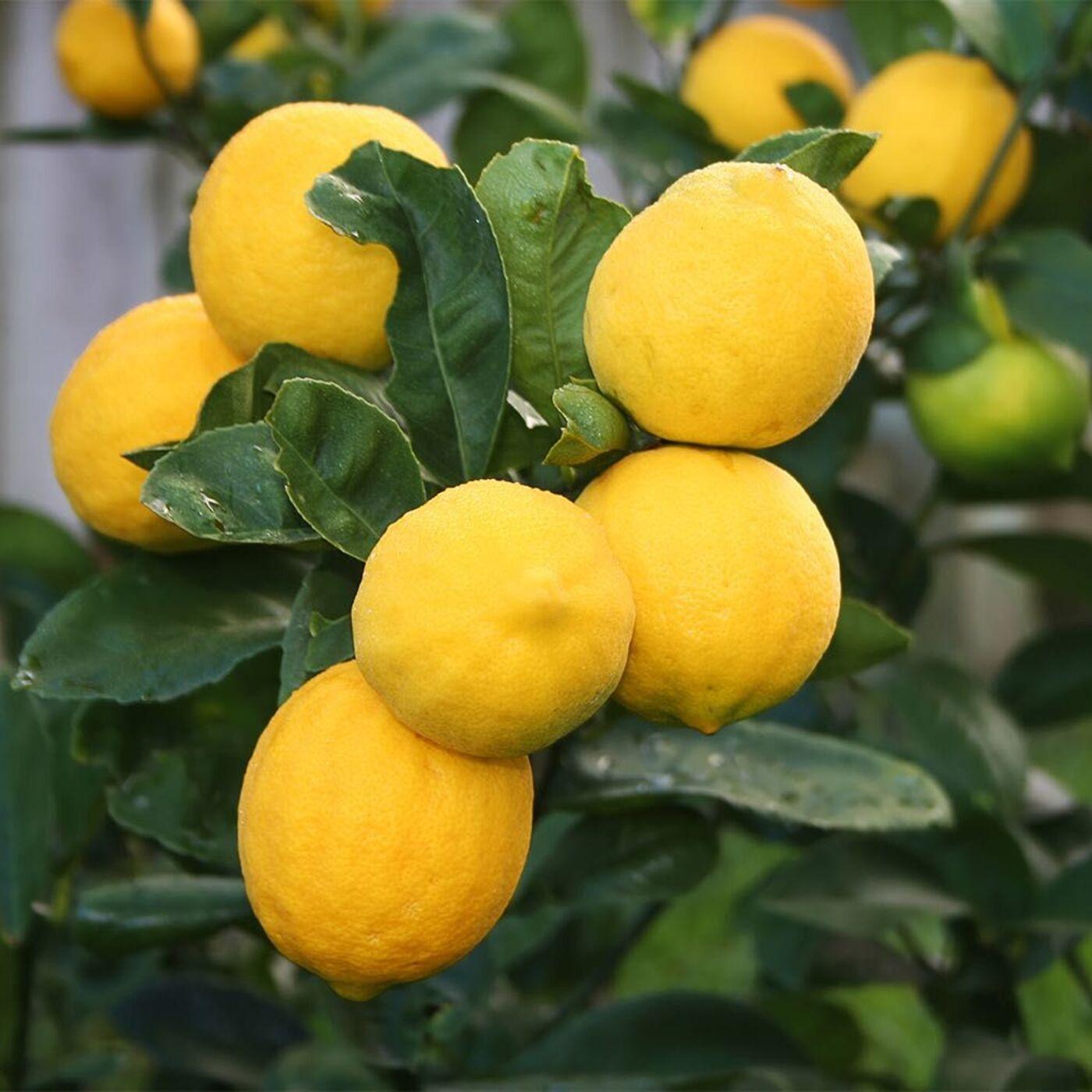 054 Indoor Citrus Basics. Leaf Mulching Made Easy.