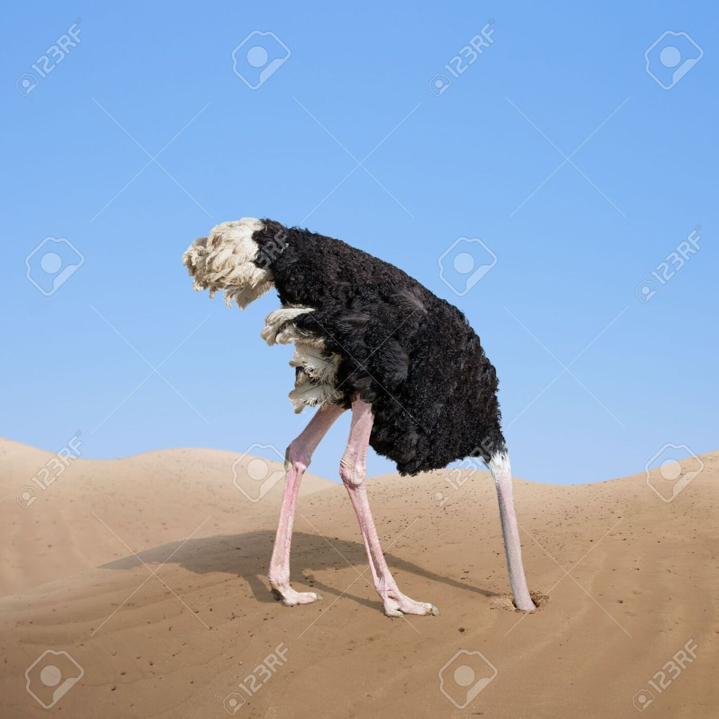 Does an ostrich really stick its head in the sand?