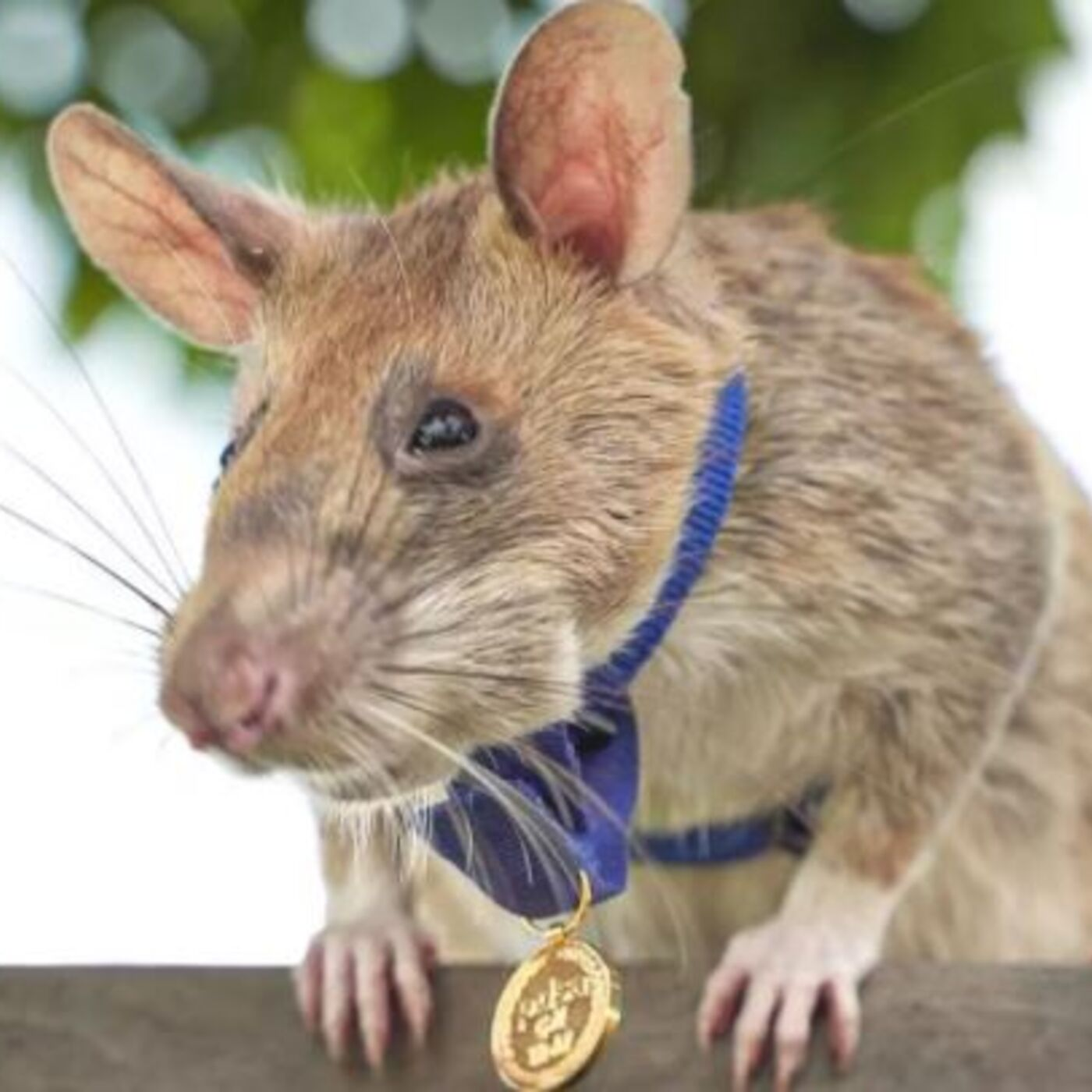 Joining The World's Conversation, Recent Human Evolution, The Landmine Detecting Rat (Pre-int)
