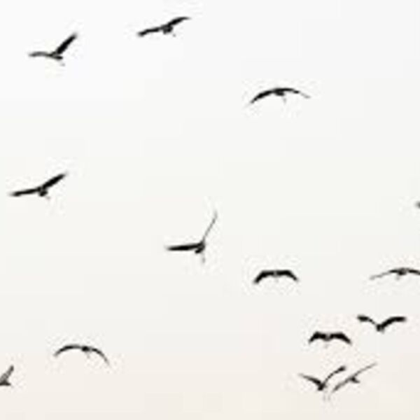 Small Black Birds Podcast Artwork Image