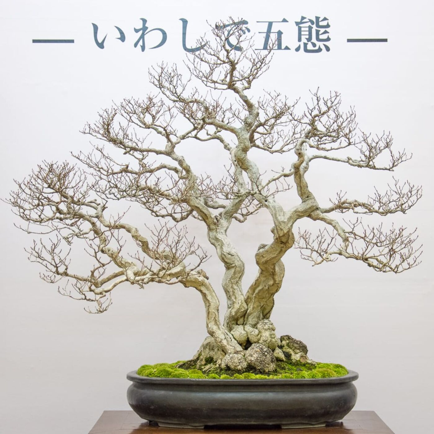 Andrew and Jonas recommend three species for development as bonsai