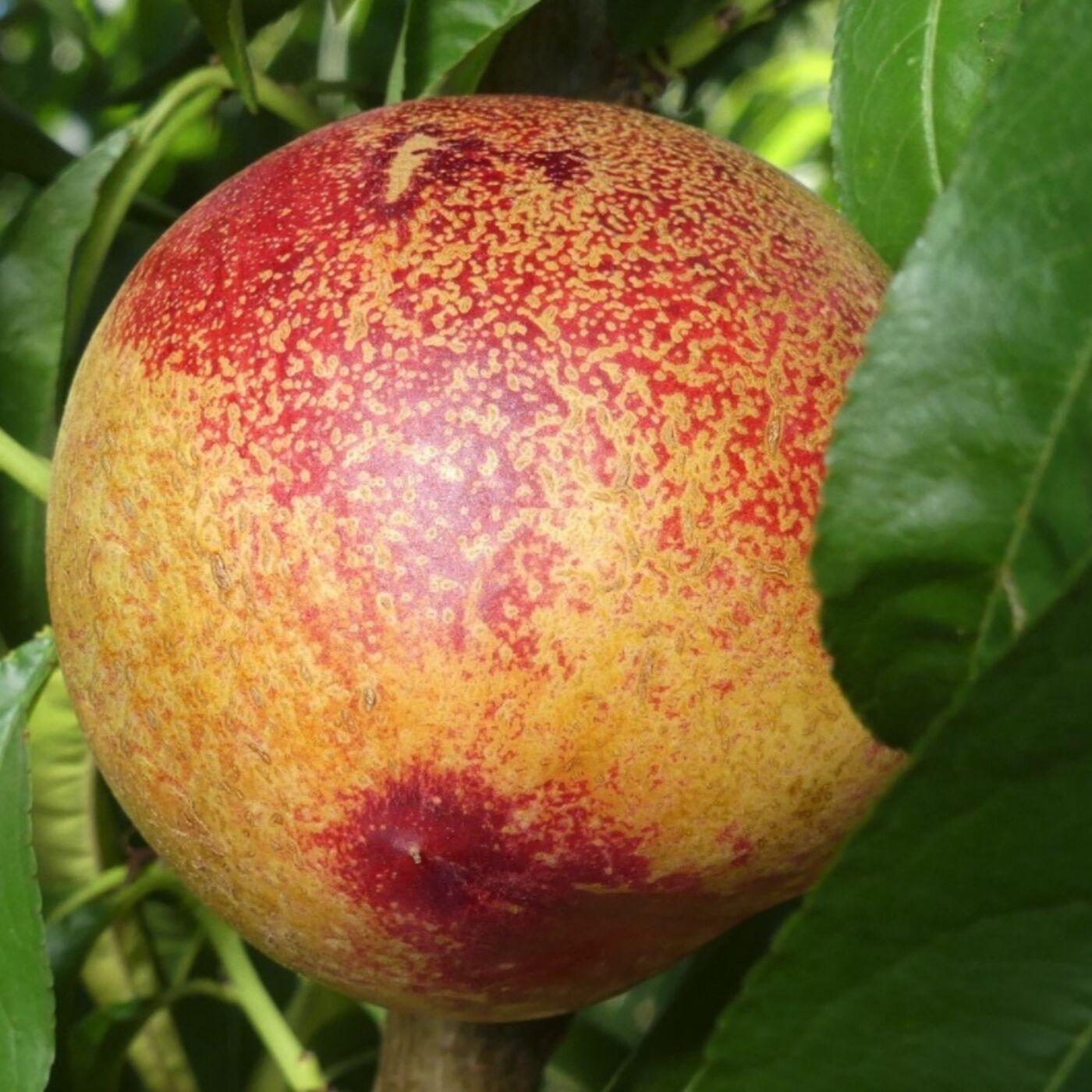 057 Fabulous Fruit Friday - White Diamond Nectarine. Drainage. Fruit trees from seed?