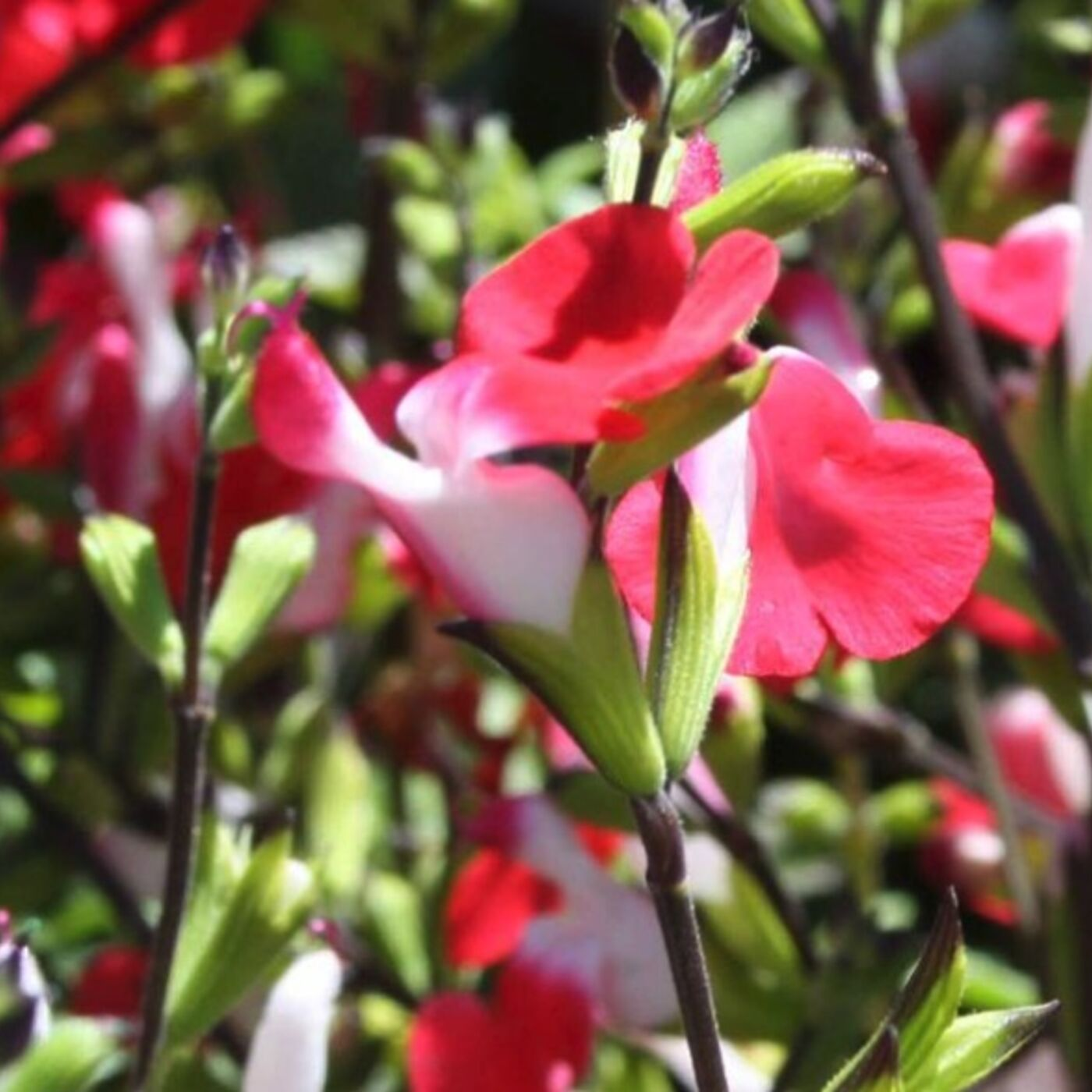 Water Saving Incentives. June Vegetables. The Hot Lips Salvia.