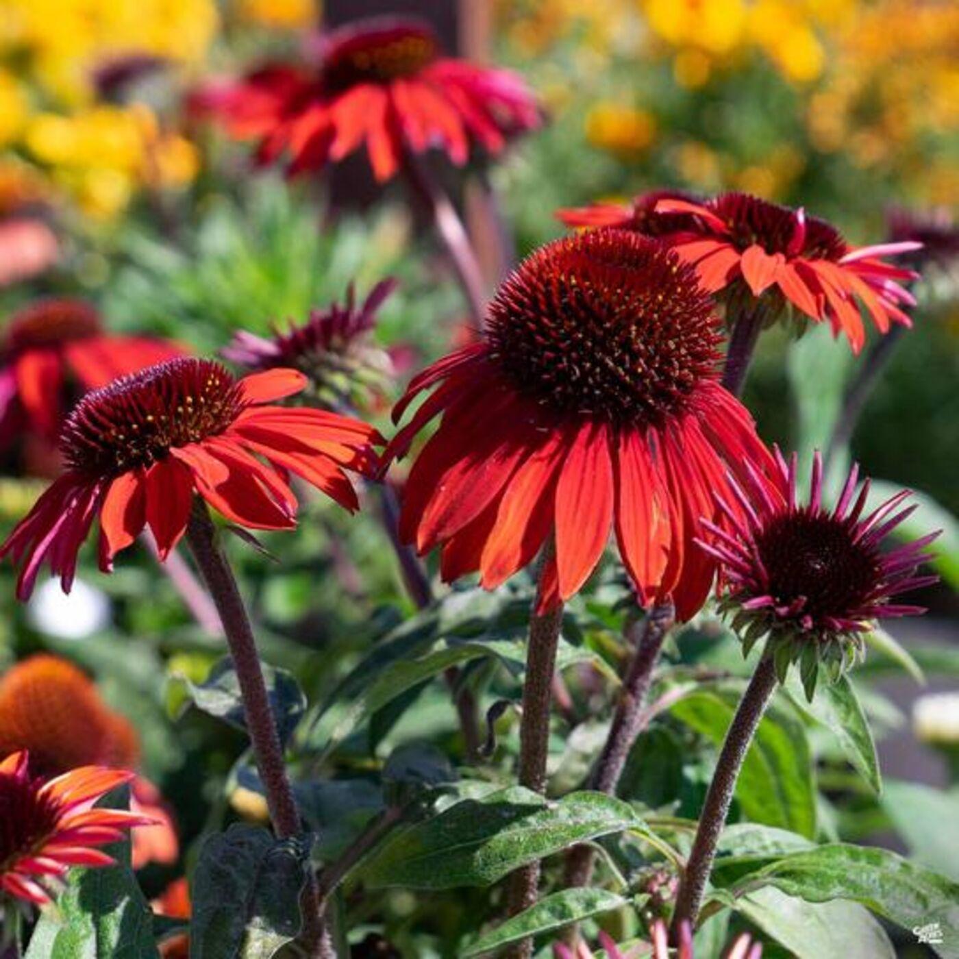 Perfect Perennials