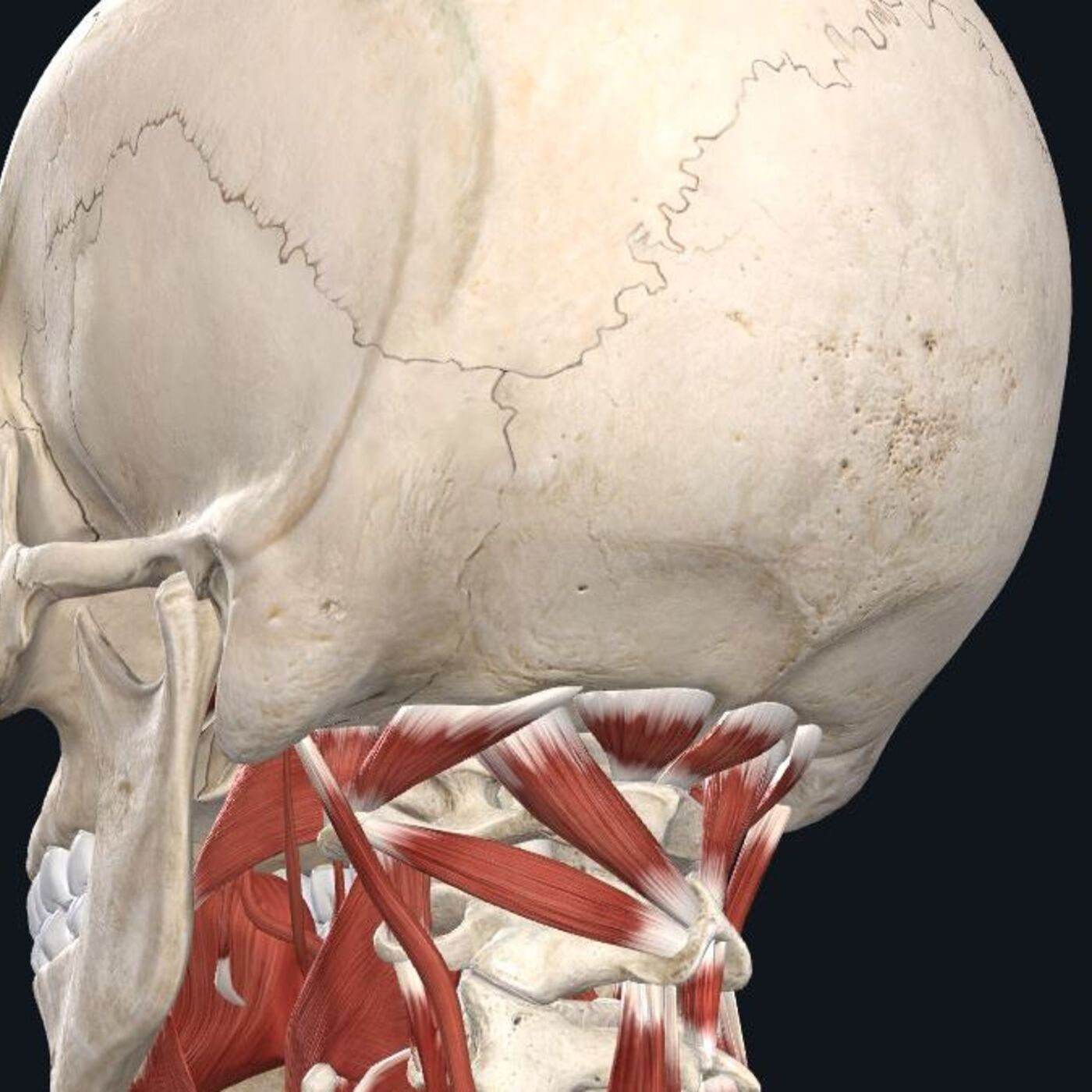 Muscle Control of the Upper Cervical Spine
