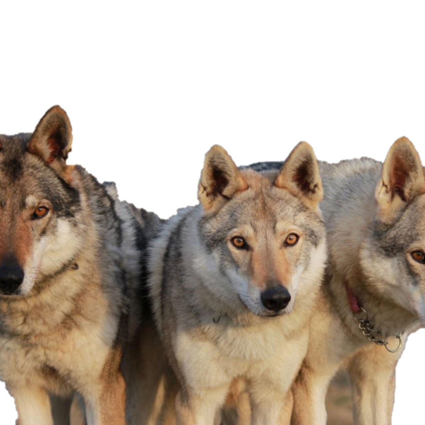 62. Aah-oooo, The Wolves of Randland, Aah-oooo!