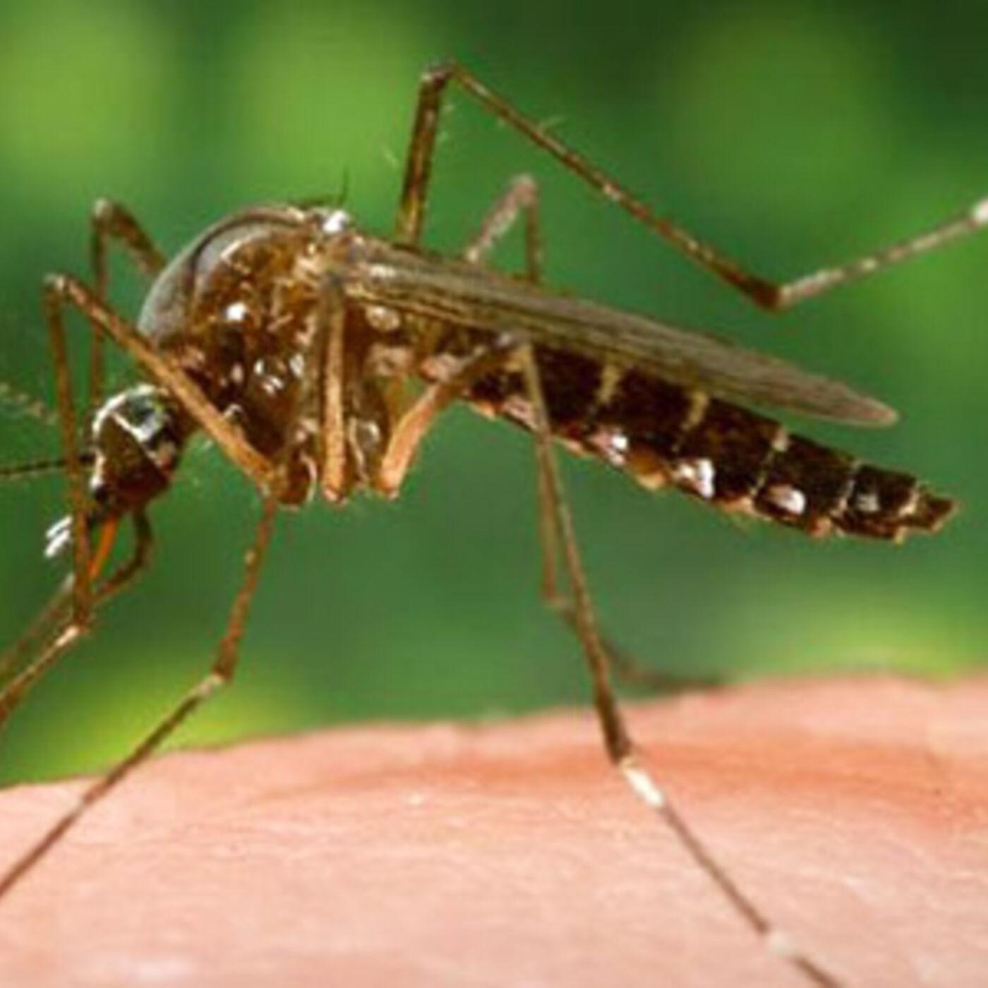 Dangers of GMO Mosquitoes